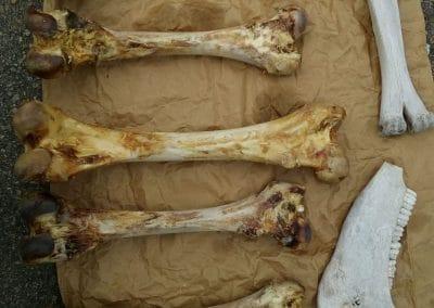 Kamelknochen für Messergriffe